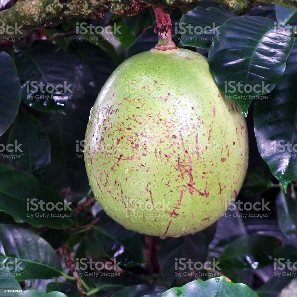Calabash Tree Gourd stock photo