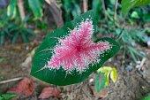 Caladium Plant Leaf