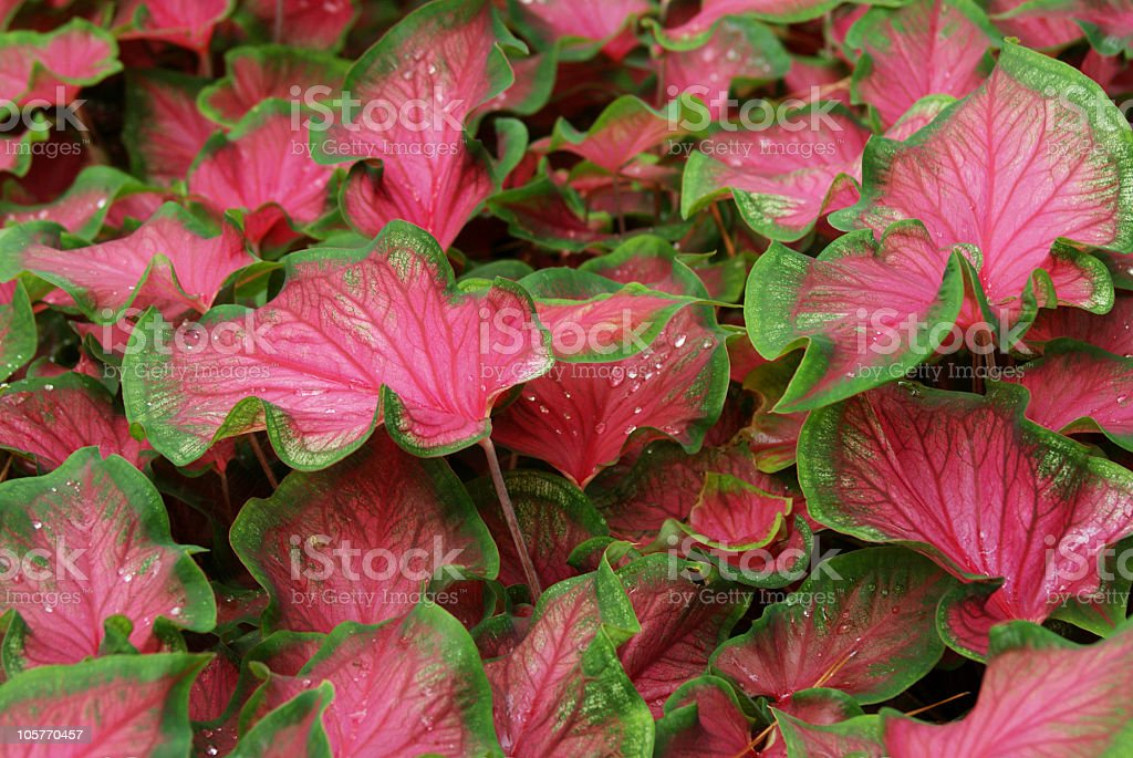 Caladium with rain droplets stock photo