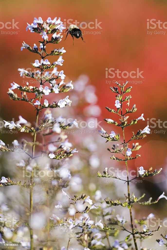 Calamint (Calamintha nepeta ssp. nepeta) in the Fall - IV stock photo