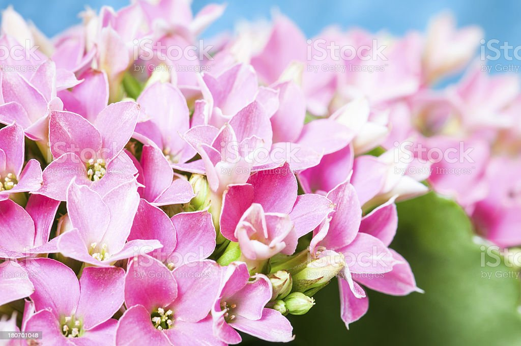 Calancola pink flower blossoms royalty-free stock photo