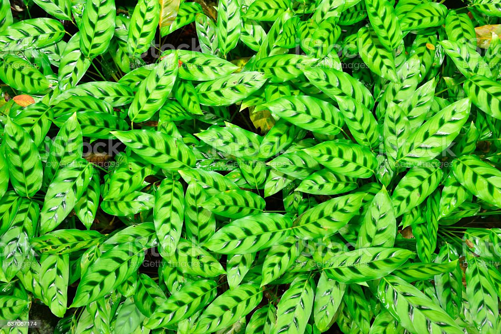 calathea zebrina leaves stock photo