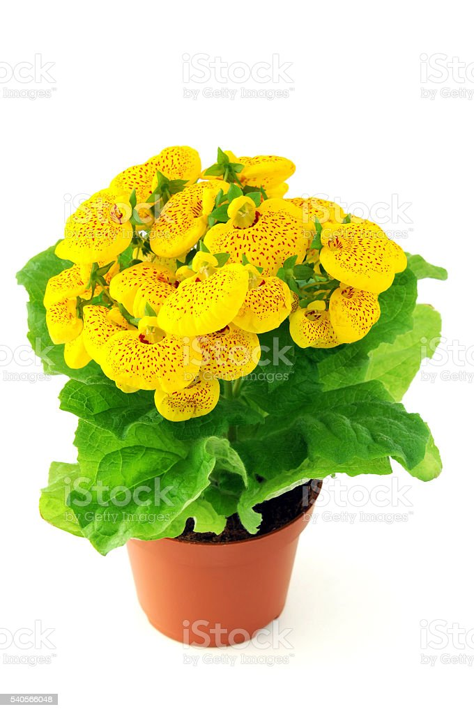 Calceolaria flower in pot in isolated white background stock photo