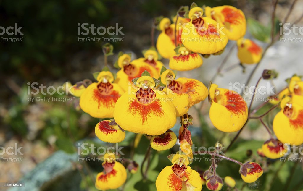 Calceolaria flowers stock photo
