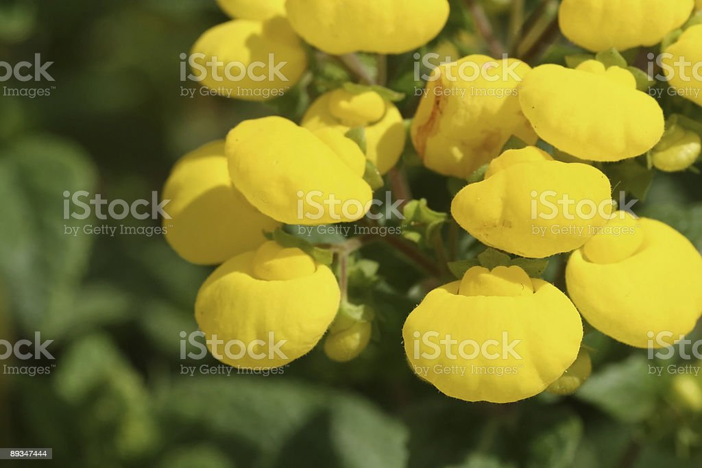 Calceolaria II stock photo