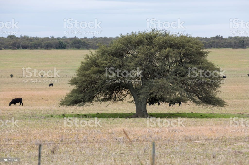Calden, an autochthonous tree from Argentina present in the Pampean forests. stock photo