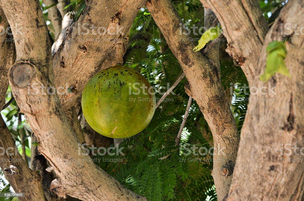 Calebassier (arbre) - Calabash Tree royalty-free stock photo