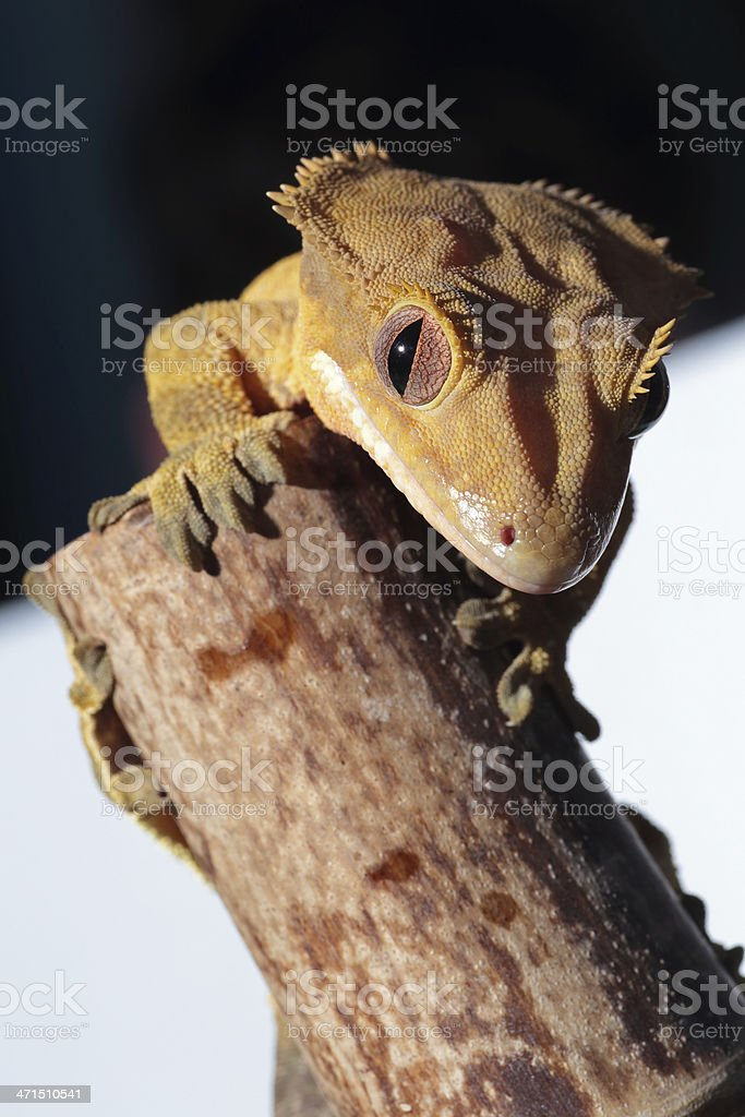 Caledonian crested gecko on a bamboo cane royalty-free stock photo