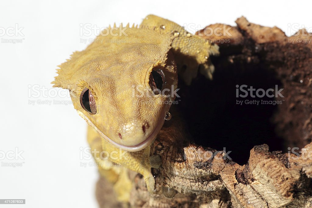 Caledonian crested gecko on white background royalty-free stock photo