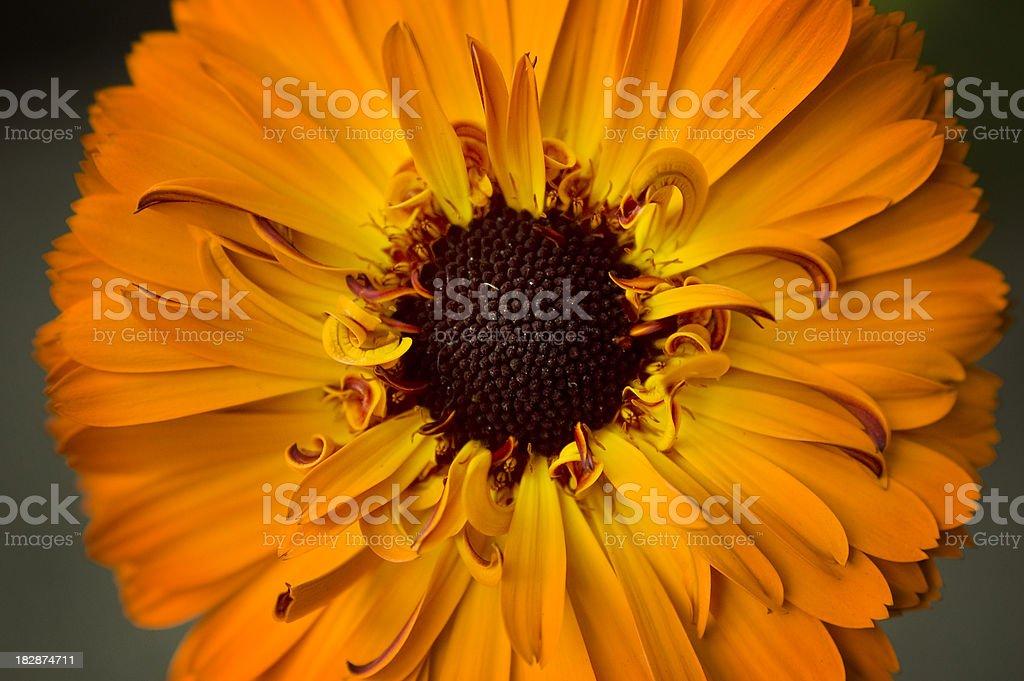 Calendula blossom royalty-free stock photo
