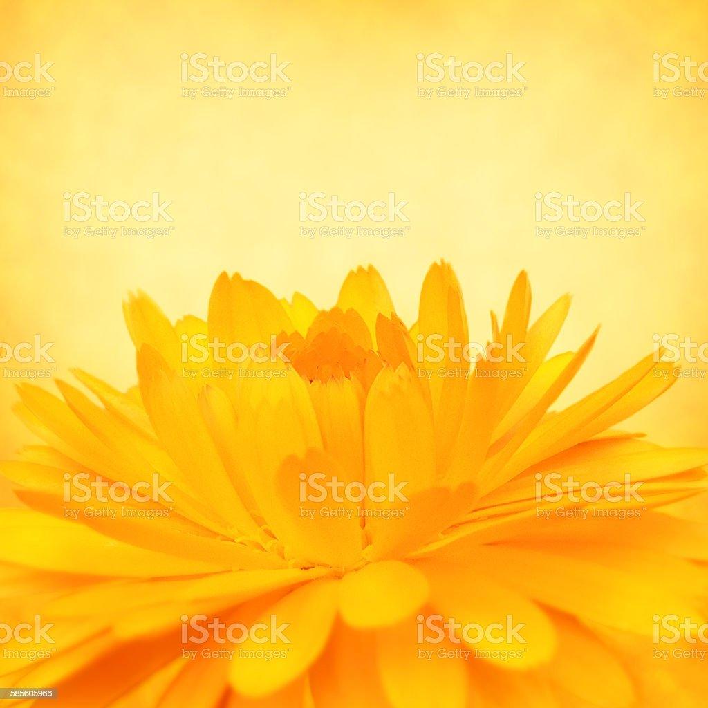 Calendula Flower Blossom stock photo