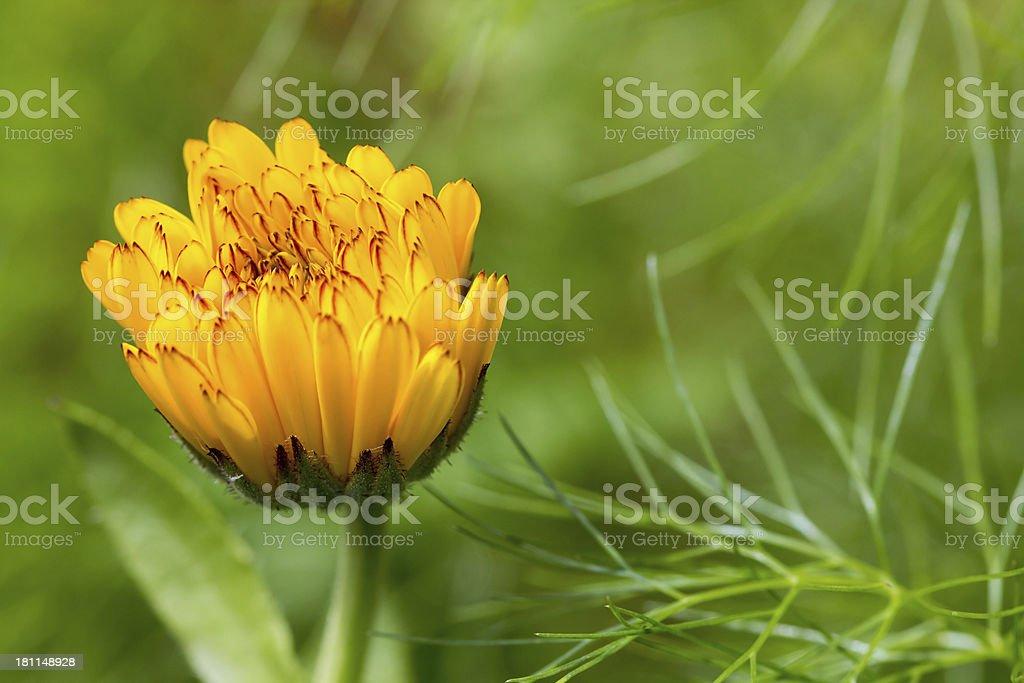 Calendula flower close up royalty-free stock photo