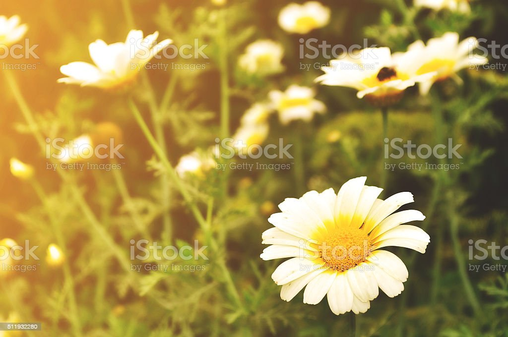 Calendula flower in the meadow under sunlight stock photo