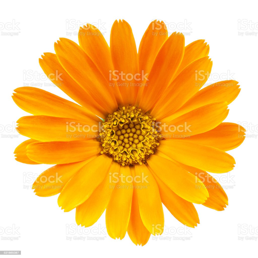 Calendula flower isolated on white background stock photo