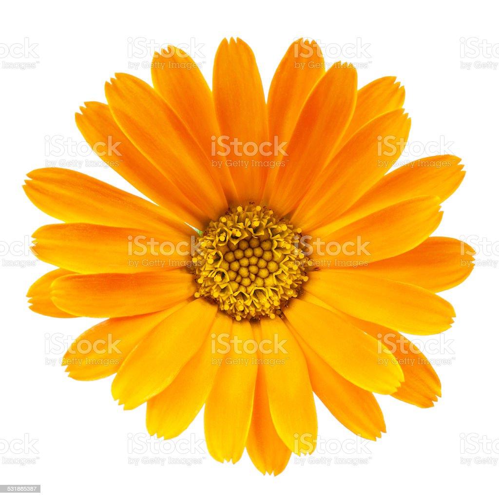 Calendula flower isolated on white background stock photo
