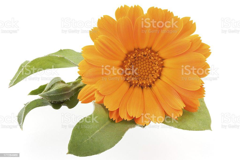 Calendula. Flower isolated on white stock photo