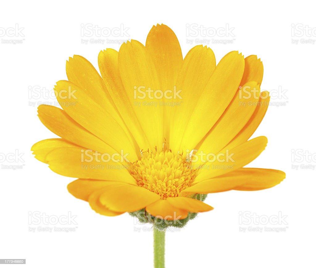Calendula (Pot Marigold) Flower stock photo