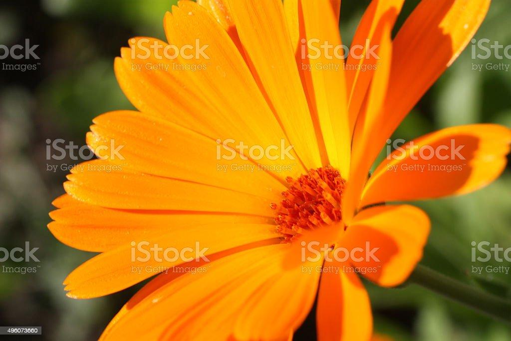 Calendula flower royalty-free stock photo