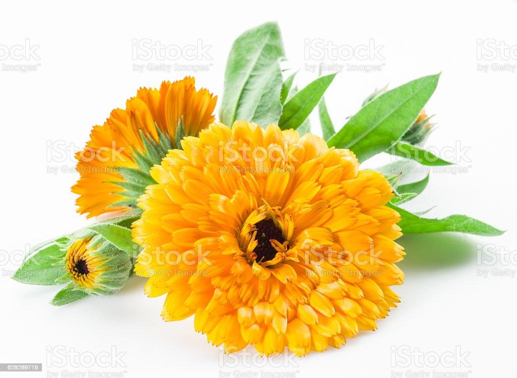 Calendula flowers on white background. stock photo