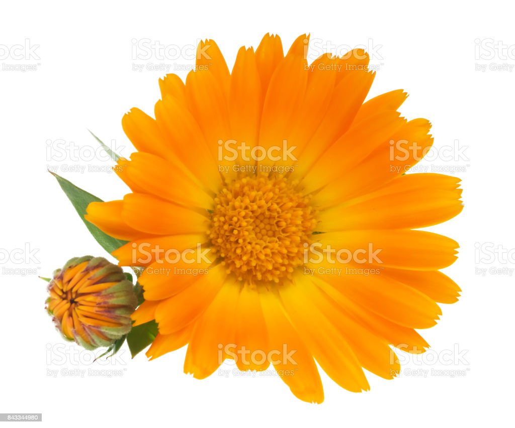 Calendula. Marigold flowers with leaves isolated on white stock photo