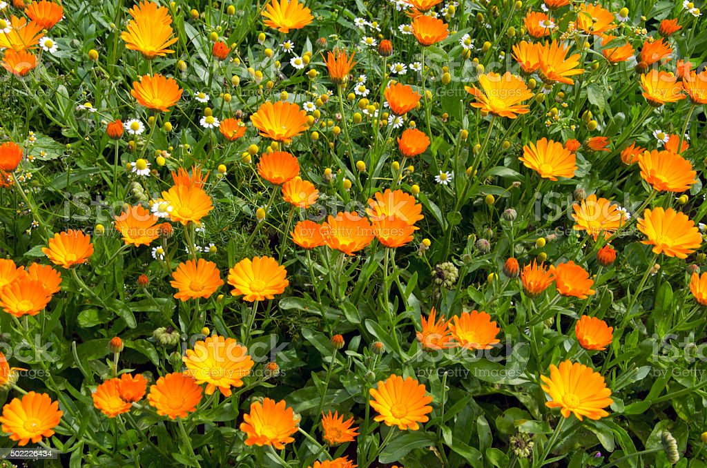 Calendula marigold in the garden stock photo