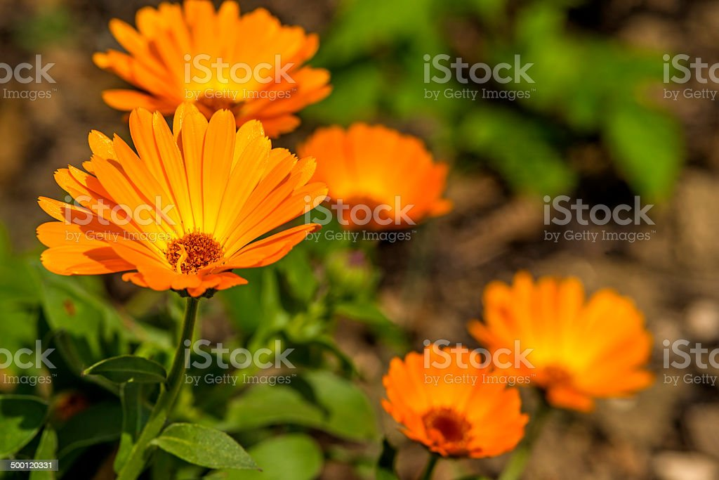 Calendula, medicinal plant stock photo