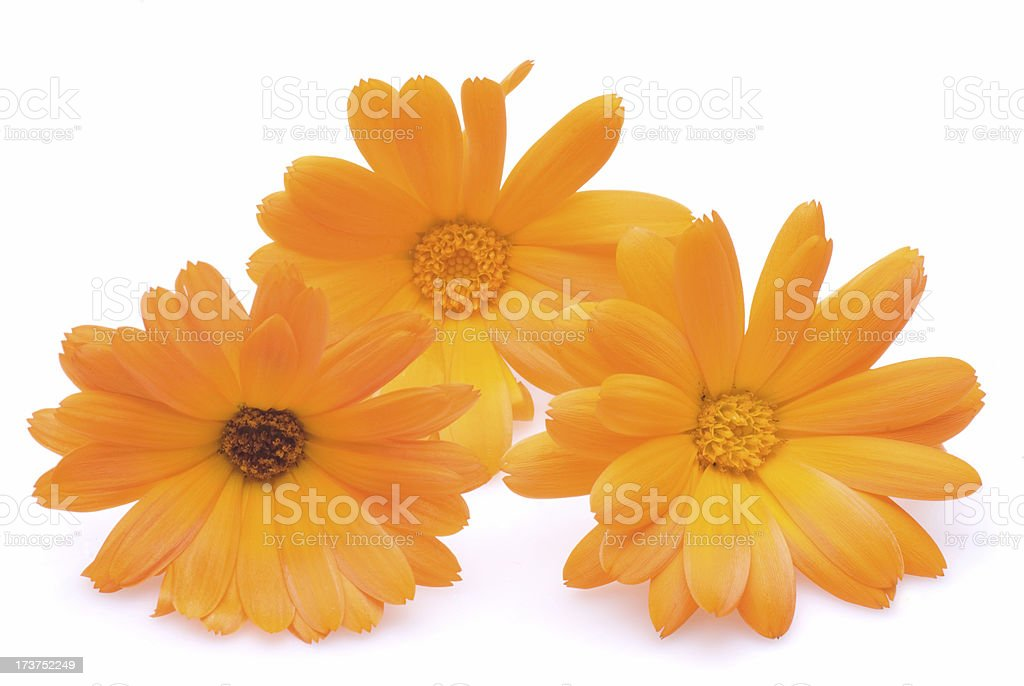 calendula officinales on white stock photo