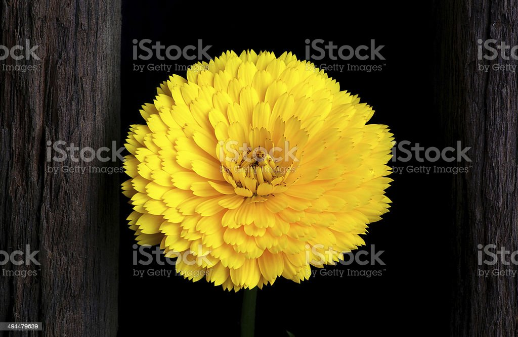 Calendula Officinalis Asteraceae Perennials Yellow Flower royalty-free stock photo