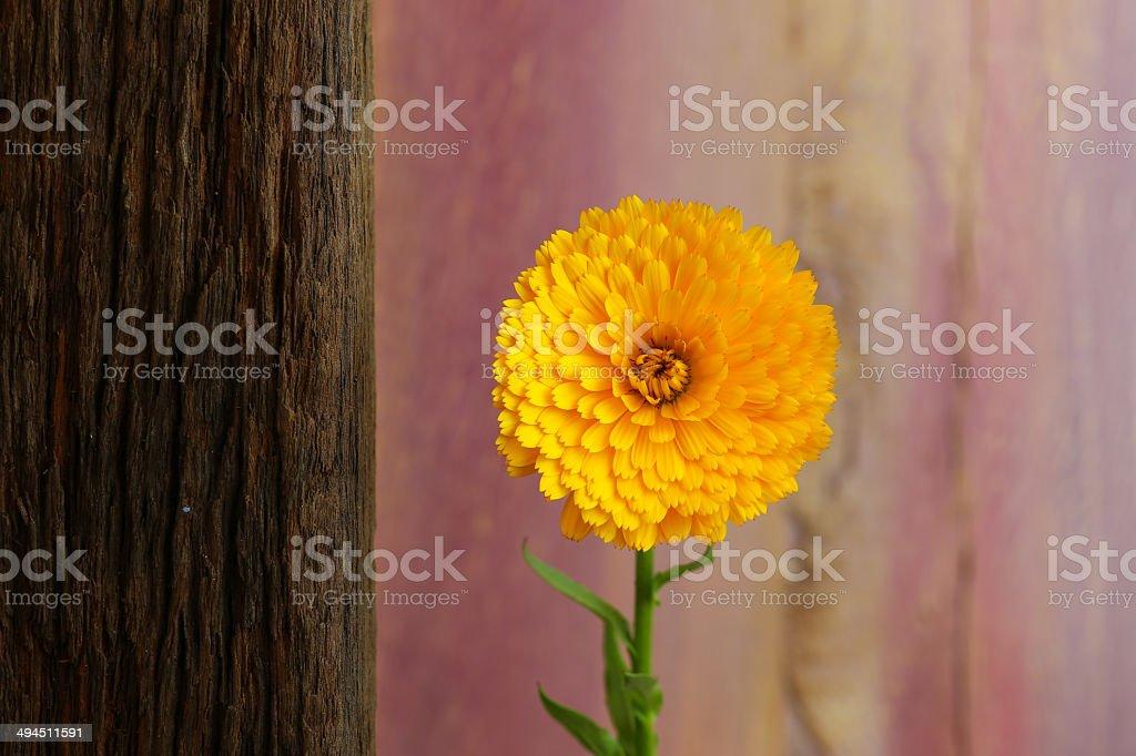 Calendula Officinalis Asteraceae Perennials Yellow Flower royalty-free stock photo