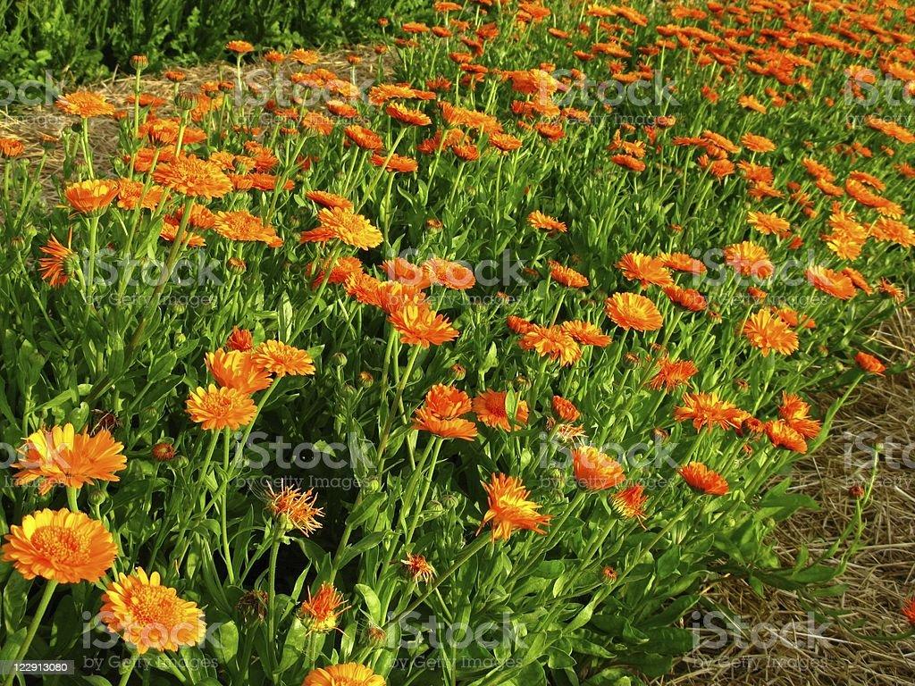 Calendula officinalis blossoms royalty-free stock photo