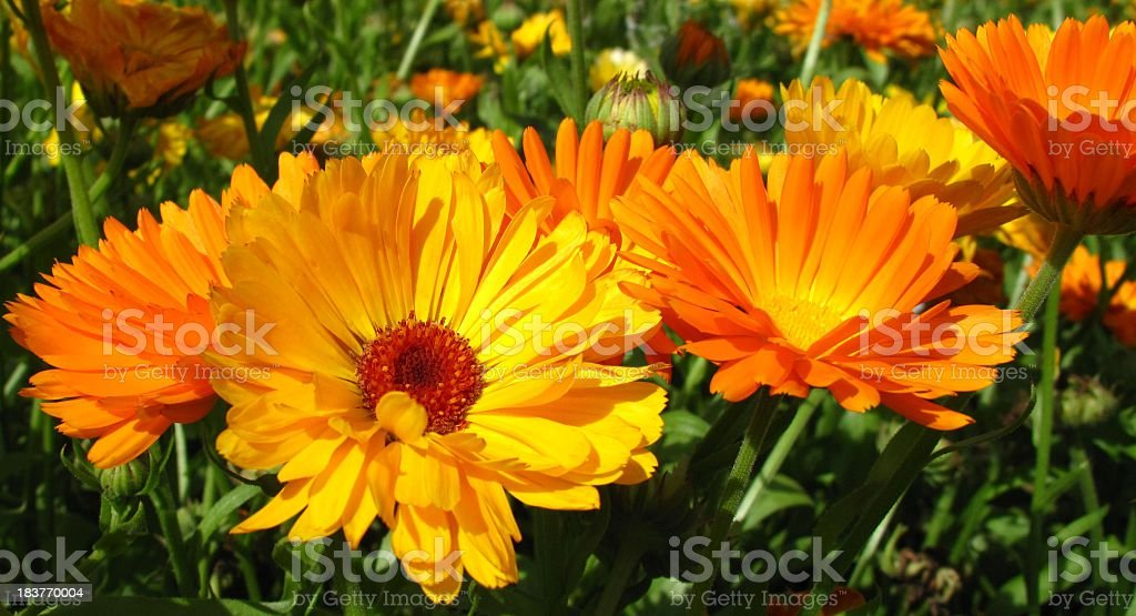 Calendula officinalis blossoms stock photo