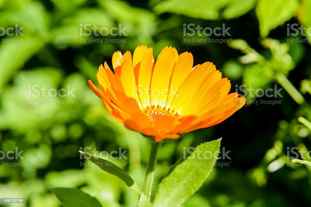 Calendula officinalis flower close up stock photo