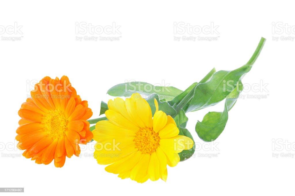 calendula officinalis (pot marigold) isolated on white stock photo