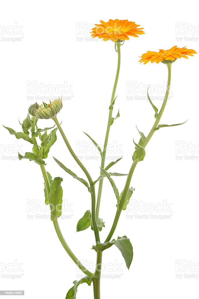 calendula officinalis (pot marigold) isolated on white stock photo