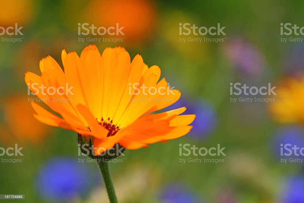 Calendula officinalis royalty-free stock photo