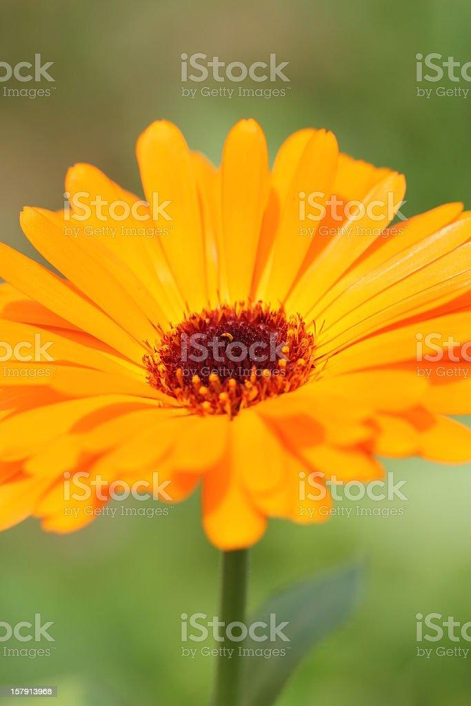 Calendula officinalis royalty-free stock photo