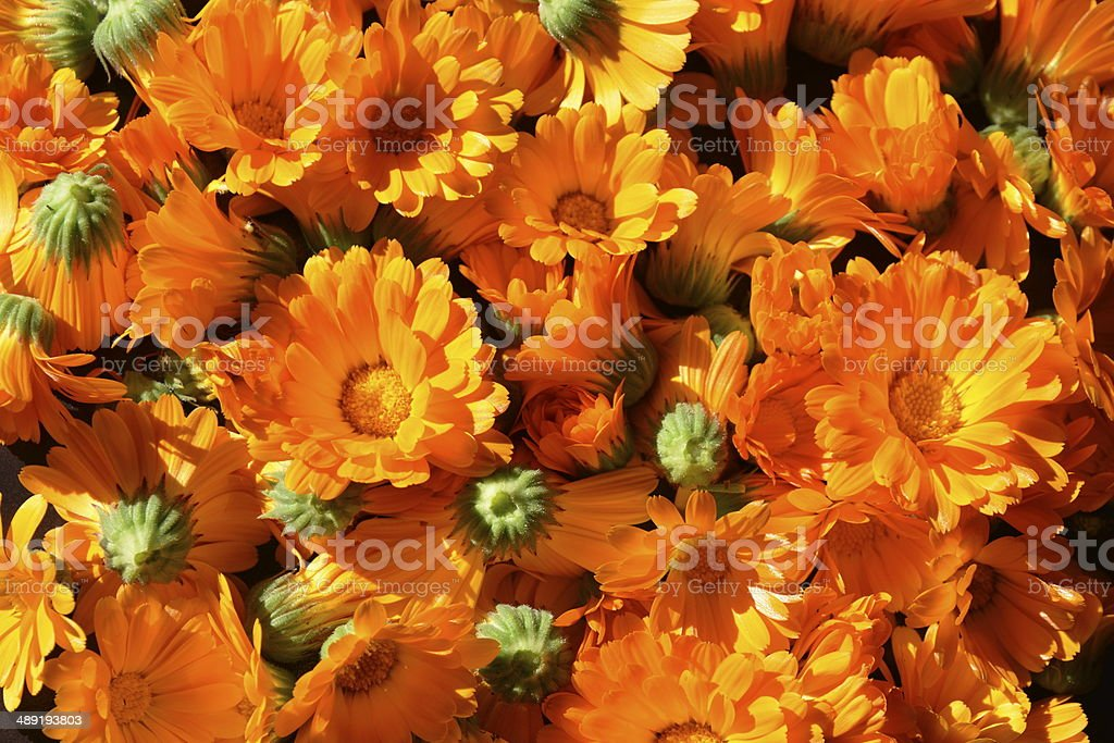 calendula officinalis stock photo
