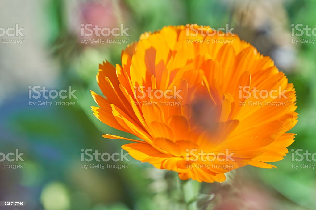Calendula officinalis stock photo