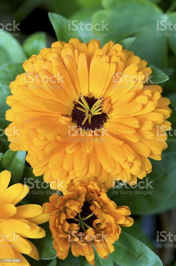 Calendula officnalis royalty-free stock photo