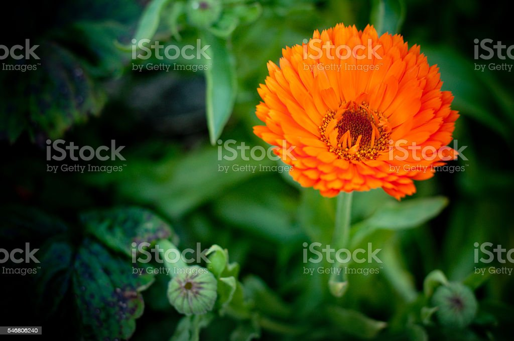 Calendula or English Marigold in afternoon light. stock photo