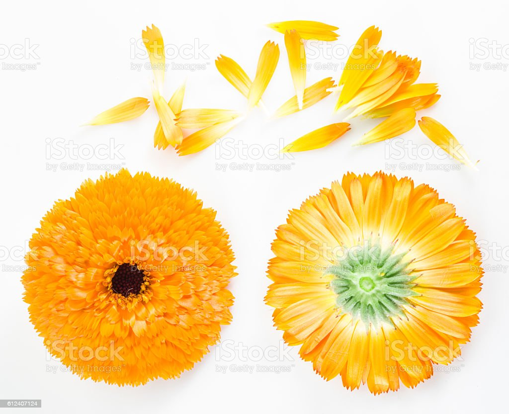 Calendula or marigold flowers and petals on the white background. stock photo
