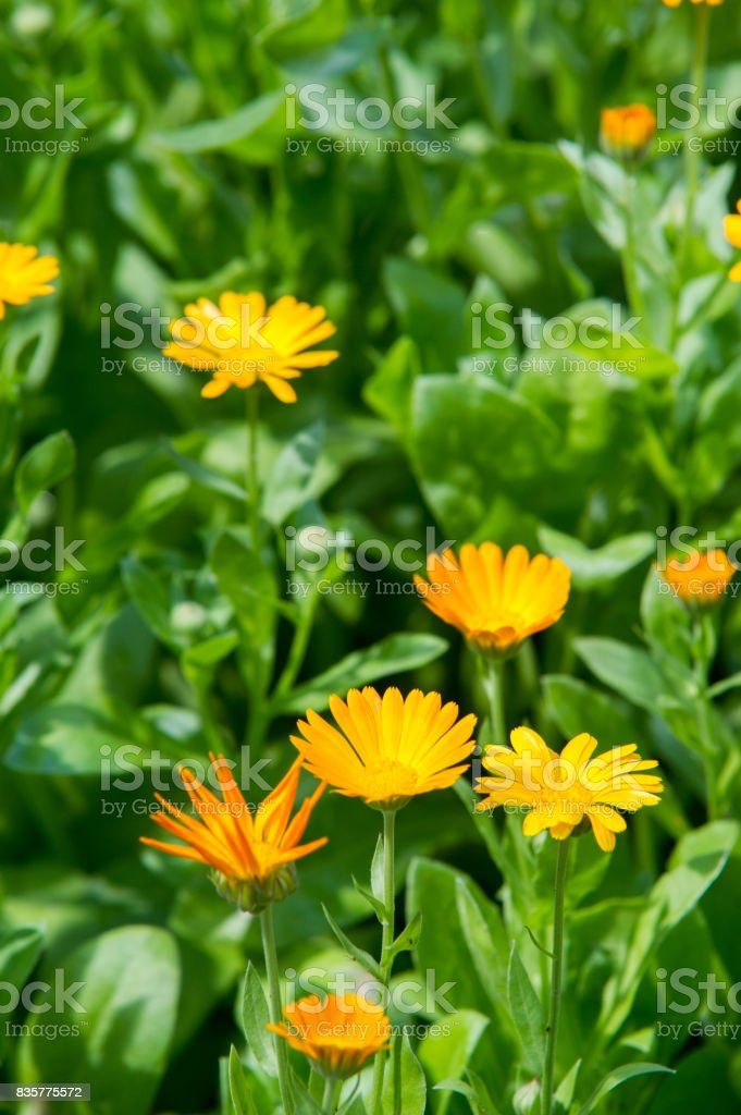 Calendula, or marigold (Calendula), - wonderful orange 'daisies' with a particular aroma, a Mediterranean plant of a genus that includes the common (or pot) marigold. stock photo