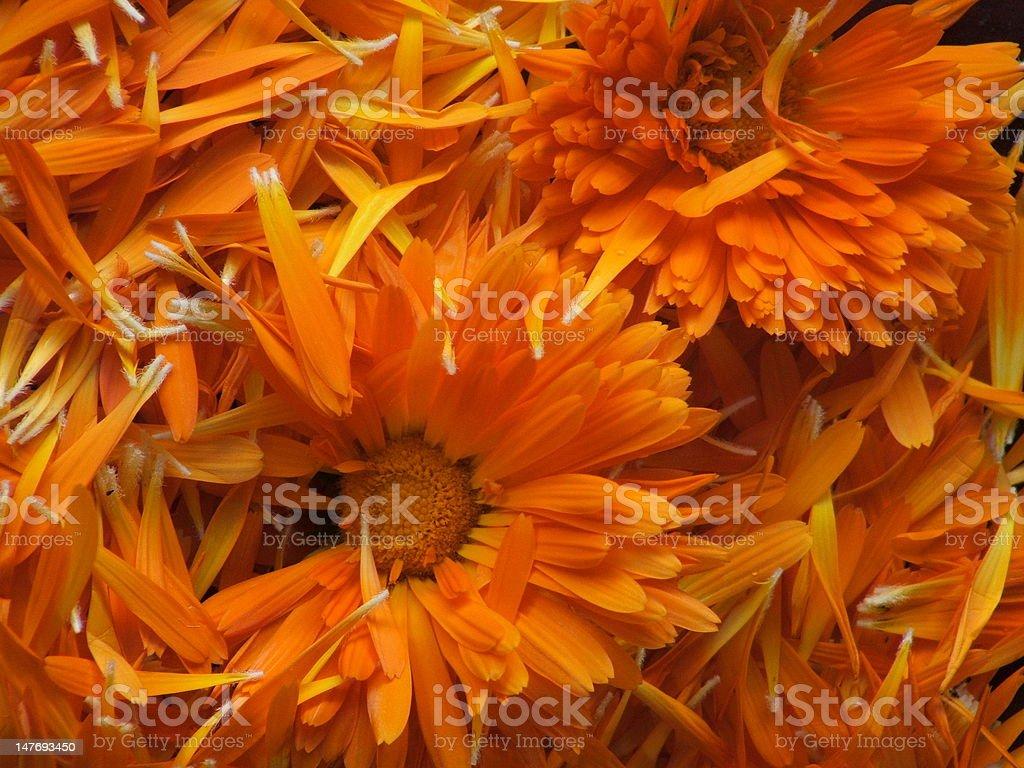 Calendula petals stock photo