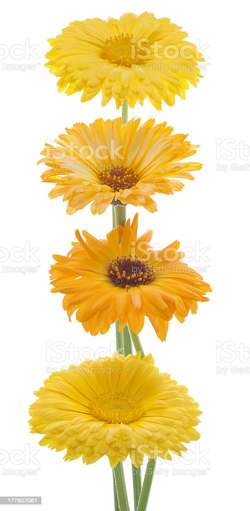 calendula royalty-free stock photo