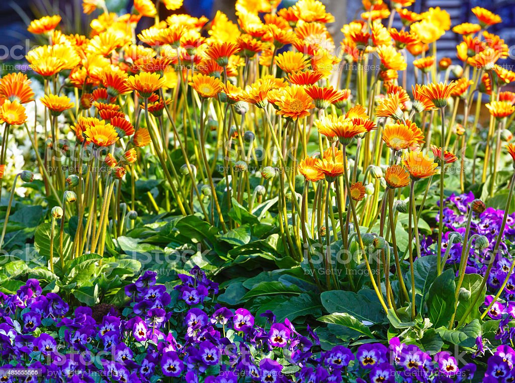Calendula yellow flowers closeup. stock photo