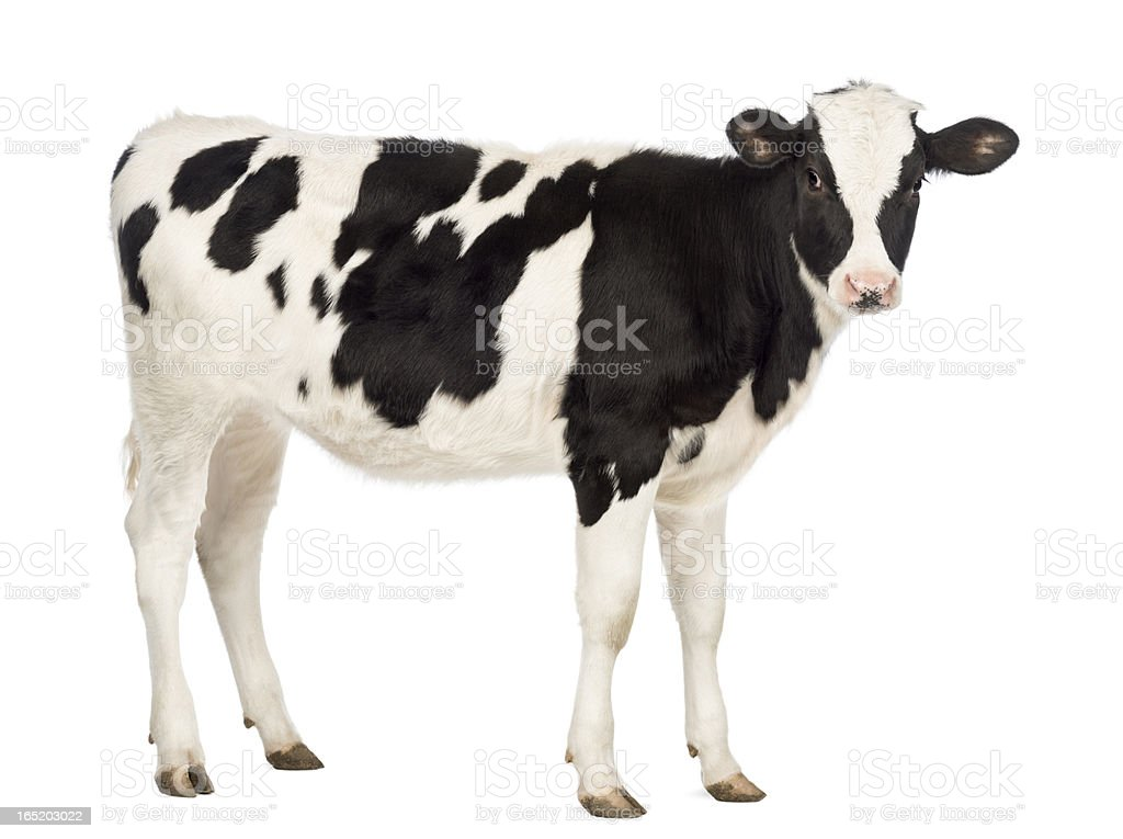 Calf, 8 months old, looking at the camera royalty-free stock photo