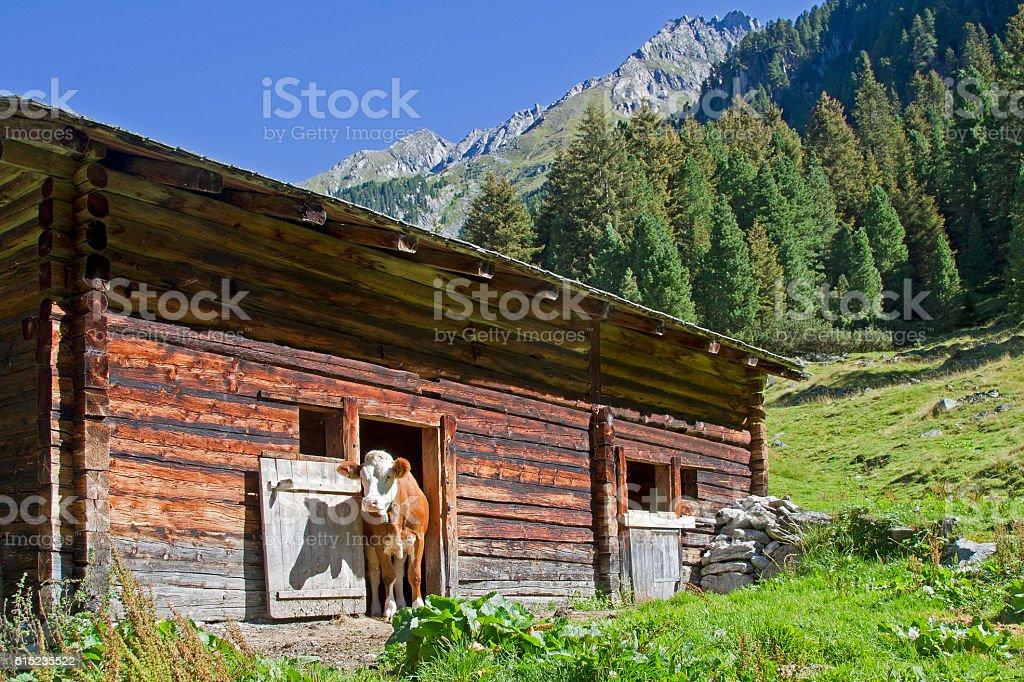 calf and mountain hut stock photo