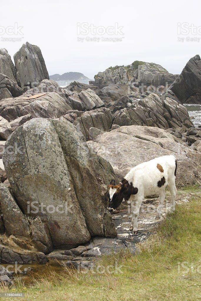 Calf and rocks royalty-free stock photo