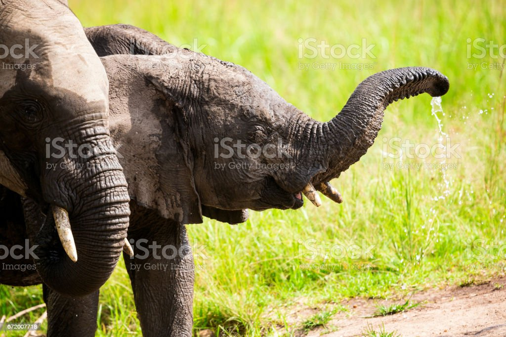 Calf and Young Elephant at Wild drinking water stock photo