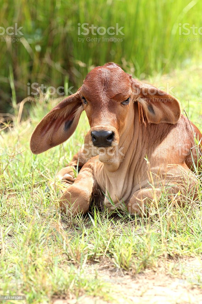 Calf are resting royalty-free stock photo